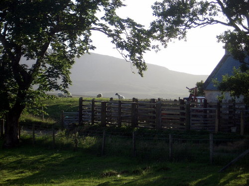 [Picture: Sheep in the early evening sun]
