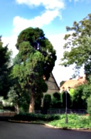 [picture: Yew Tree]