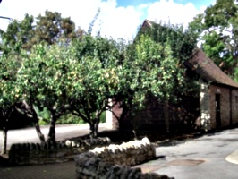 [picture: Pear orchard]