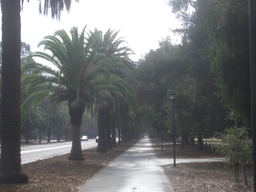 [Picture: Stanford Campus: the avenue: 3]