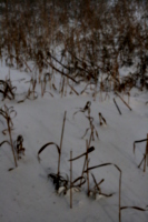 [picture: Dry grass in snow]