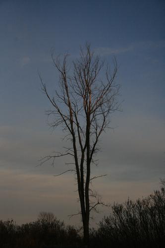 [Picture: Elm tree against a darkening sky]