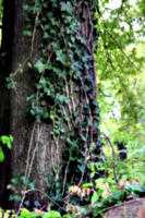 [picture: Tree-trunk with ivy 1]