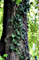 [picture: Tree-trunk with ivy 2]