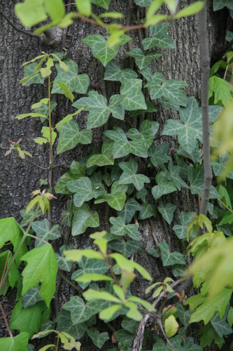 [Picture: Tree-trunk with ivy 3]