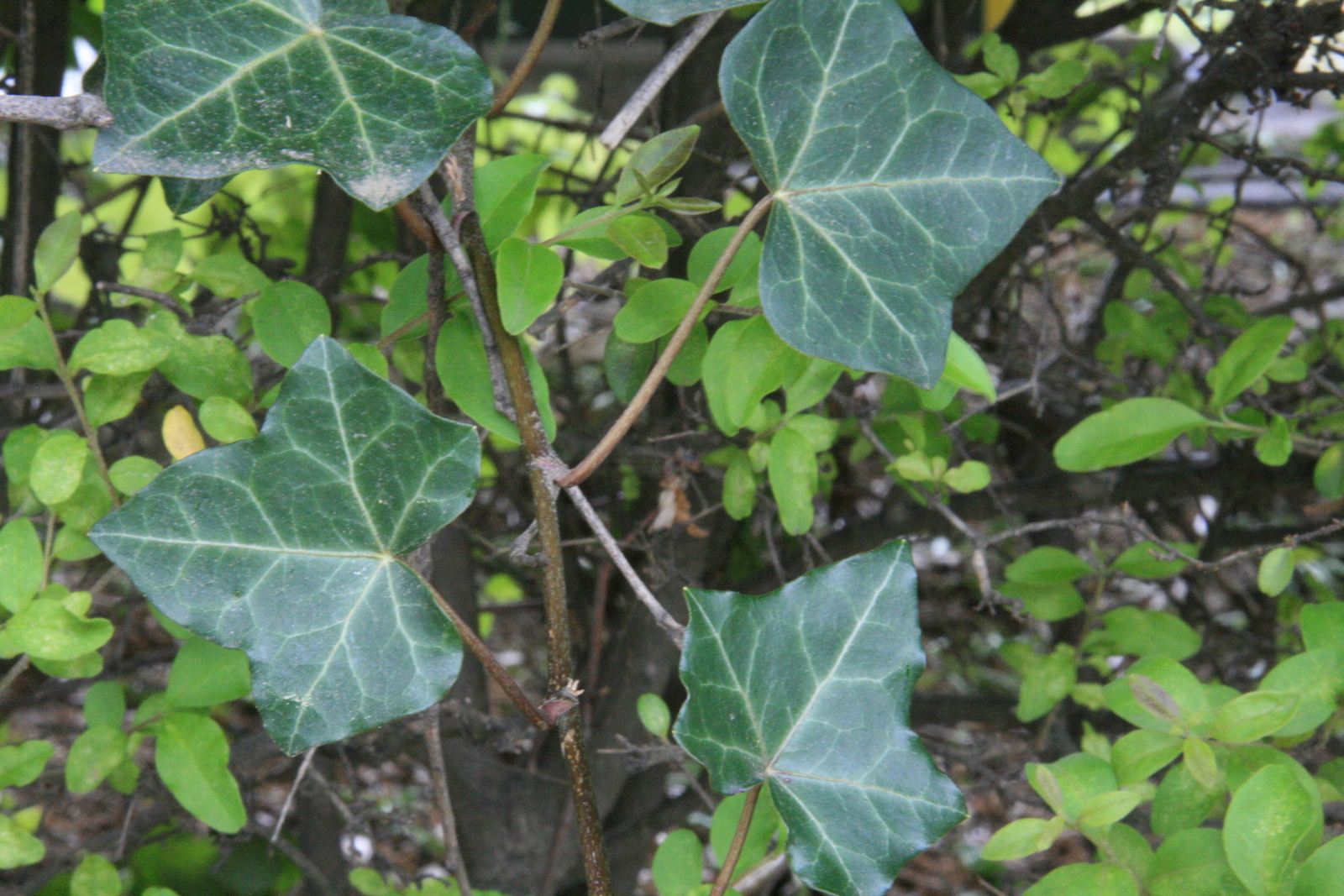 [Picture: ivy 2]