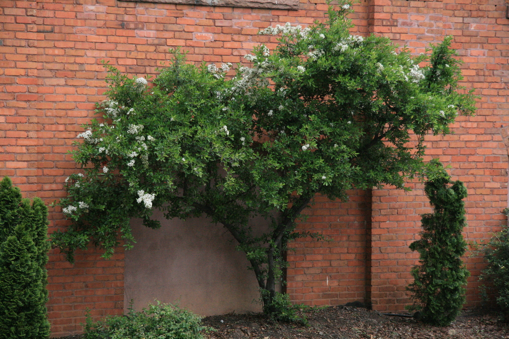 [Picture: Clowering shrub by brick wall]