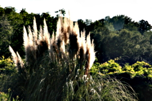 [picture: Pampas Grass 1]
