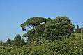 [Picture: Italian tree]