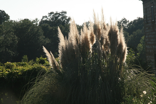 [Picture: Pampas Grass 2]