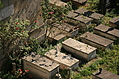 [Picture: Jewish Cemetary 27: Graves and Roses 1]