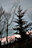 [picture: Fir tree]