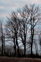 [picture: Trees in a row]