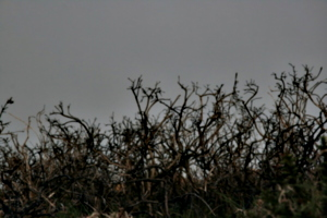 [picture: Dead thorn bushes 1]