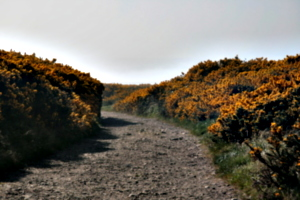 [picture: Path through the gorse]