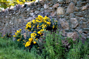 [picture: Flowers in an old stone wall 1]
