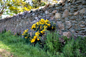 [picture: Flowers in an old stone wall 2]