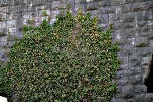 [picture: Ivy on a stone wall 1]