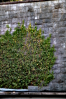 [picture: Ivy on a stone wall 2]