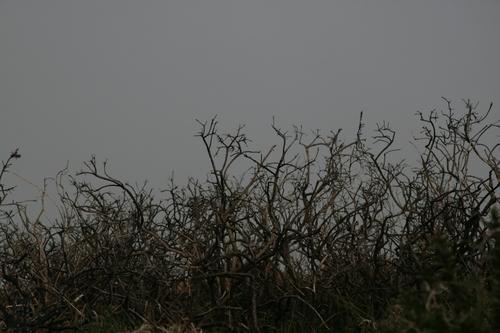 [Picture: Dead thorn bushes 1]