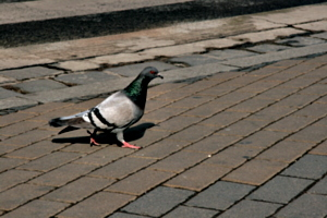 [picture: Pigeon 1]