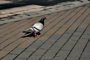 [picture: Pigeon 2]