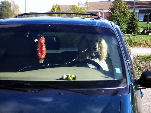 [Picture: Poodle Driver]